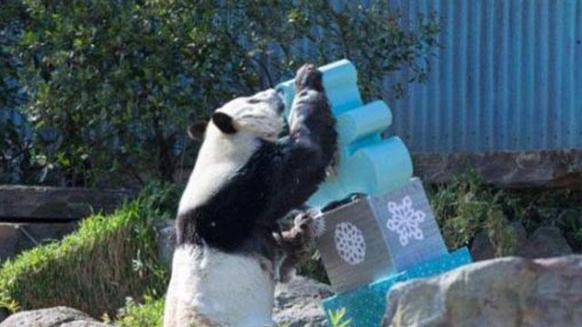 澳大利亚大熊猫租期将满 园方望延期