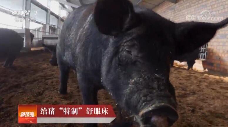 """[科技苑]给猪""""特制""""舒服床 20190326"""