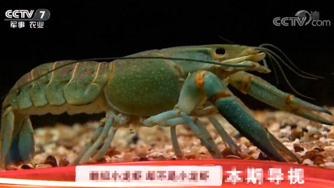 [科技苑]个大的龙虾不一般 20190415