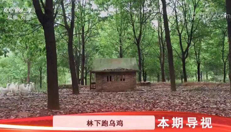"""[科技苑]住别墅 打""""擂台"""" 林下跑乌鸡 20190425"""