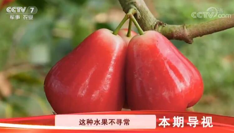 """[科技苑] """"吃甘蔗""""的莲雾 20190506"""