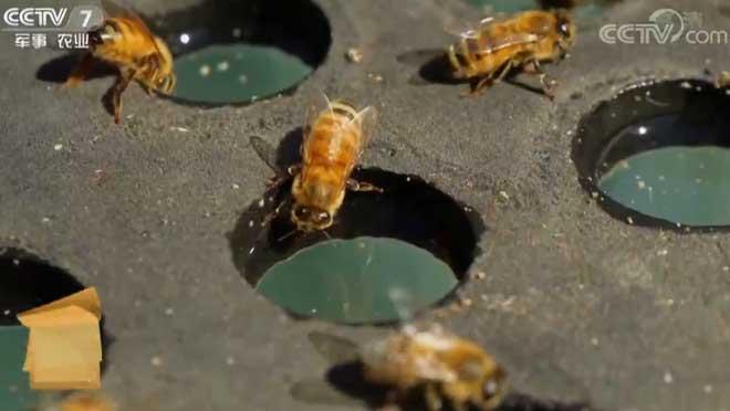 [每日农经]探秘澳大利亚养蜂秘诀 20190612