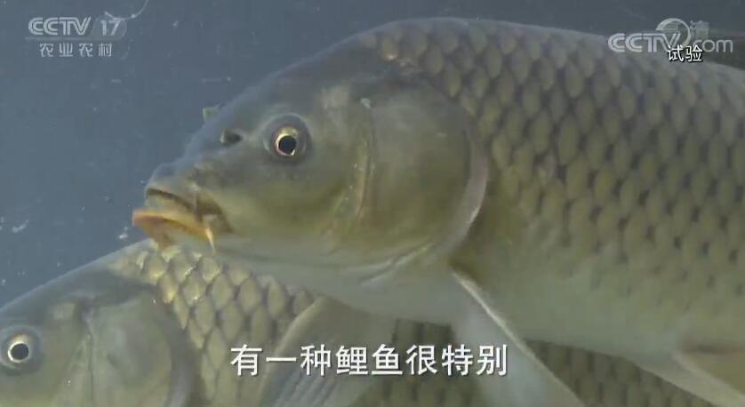 《田间示范秀》 20190807 养鱼先养水 鲤鱼味道美