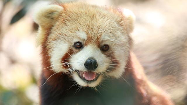四川雅安小熊猫采食浆果 呆萌惹人爱