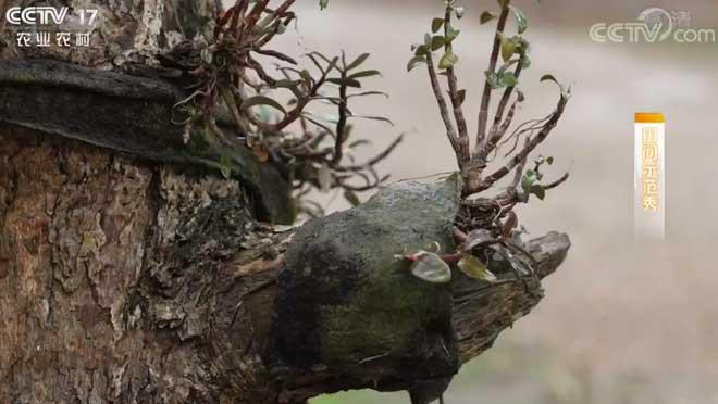 《田间示范秀》 20200114 种在崖壁上铁皮石斛