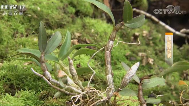 《田间示范秀》 20200214 种在崖壁上的铁皮石斛