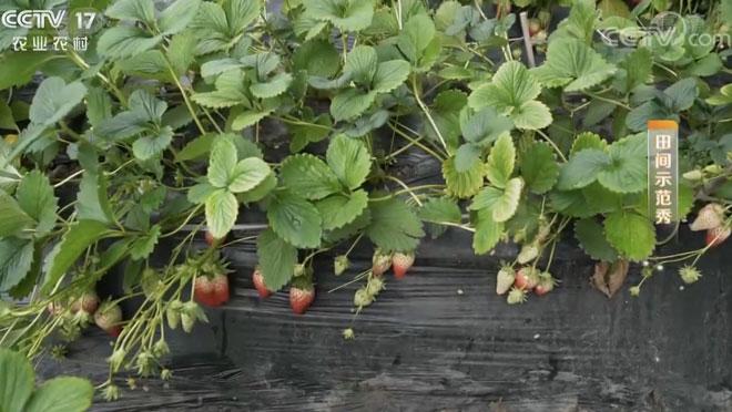 《田间示范秀》 20200227 草莓黄叶救援记