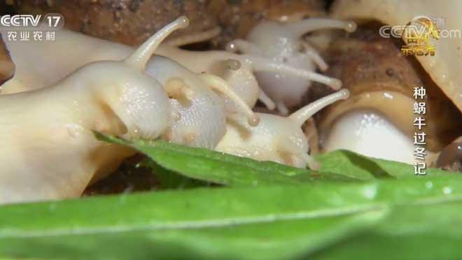 《田间示范秀》 20200610 种蜗牛过冬记