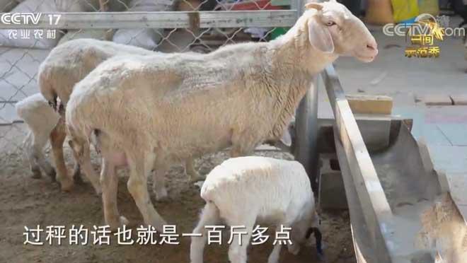 《田间示范秀》 20200703 肉羊分栏出效益