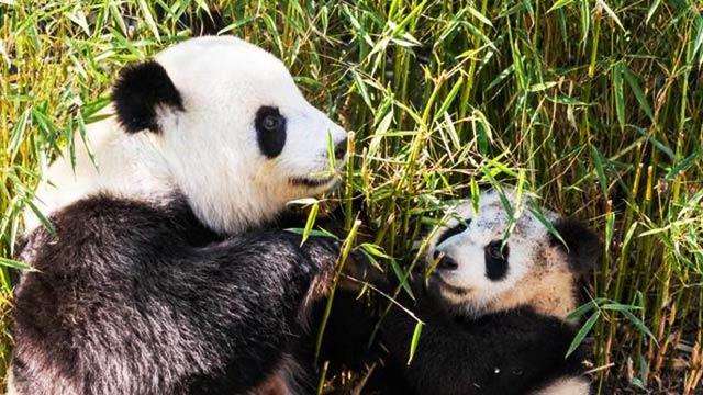 柏林大熊貓雙胞胎體重已達22公斤