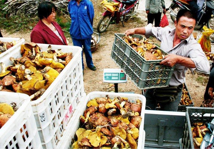 ...野蘑菇.目前正值山里松蘑、红蘑、杨树蘑丰收的时节.据了... 图片 129k 697x484