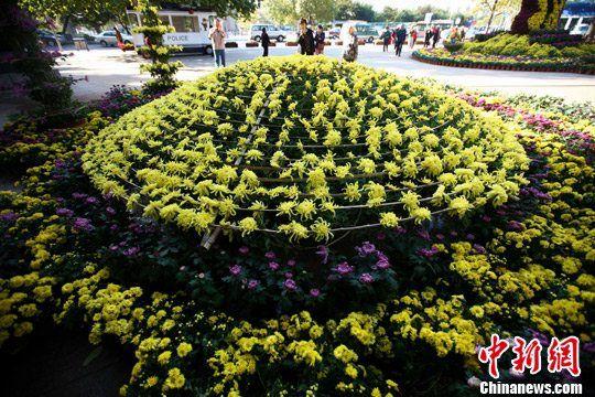 10月23日,在青岛市第28届菊展上,一株单体菊花吸引了众多游客的目光。这是一株栽在花盆里的大簇黄色菊花,主干只有1棵,其花冠直径就达到了5米,盛开有3500朵花。中新社发 徐崇德 摄