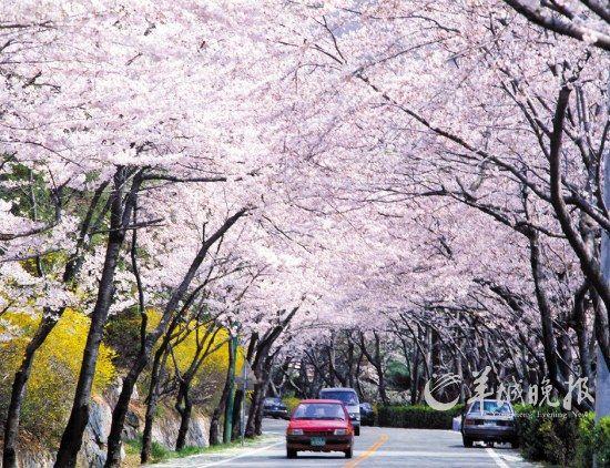 首尔的樱花大道