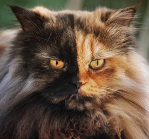 """塞尔维亚罕见""""双面""""猫咪 生性腼腆怕拍照"""