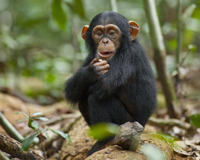 观察之聪明黑猩猩