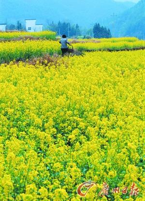 江岭的油菜花已经盛开。