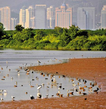 每到秋末初冬,南生围成为许多候鸟栖息越冬的家园 陈晓伟 摄