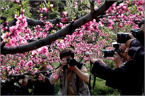 四川峨眉山普兴桃花节开幕 每天接待近万名游客
