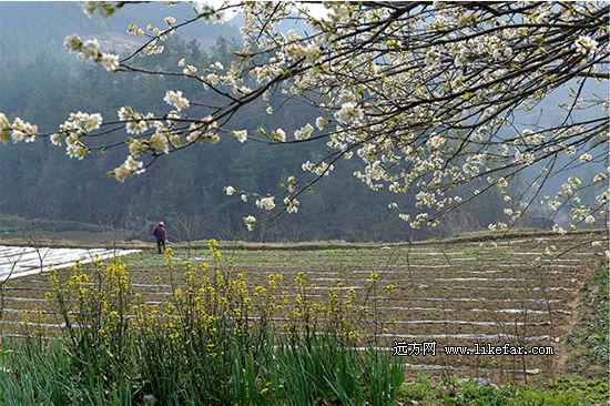 樱桃沟充满生机与花香的春天 作者:林镜缘