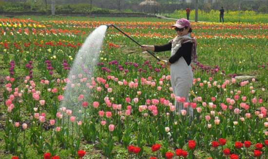 游客在郁金香花田进行劳动体验(朱春梅摄)