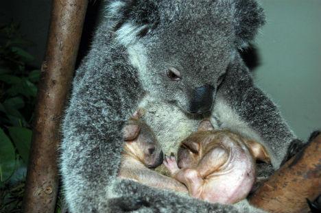 13种超级可爱动物宝宝:倭河马体型矮小
