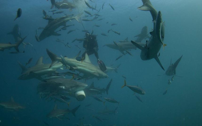 潜水员拍摄南非海域鲨鱼进食狂野画面 科教台