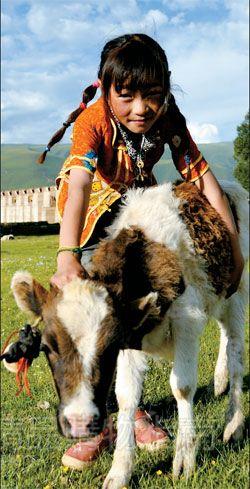 藏族小姑娘和她的好朋友——一头小牛犊子。