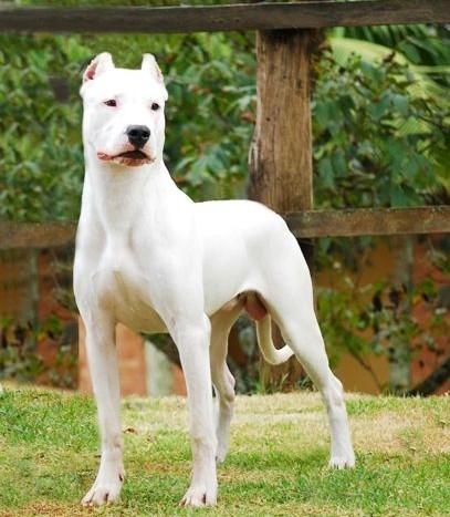 杜高犬(图片来自网络)