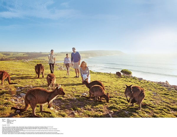 袋鼠岛与野生动物亲密接触