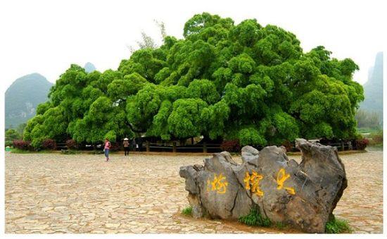大榕树景区 图片来源:远方网