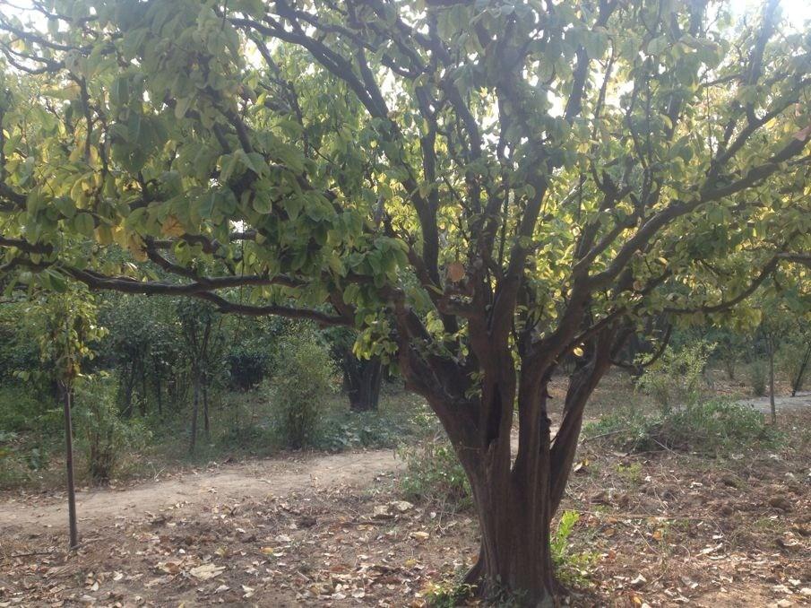 菏泽市御香园内,500余年的木瓜古树