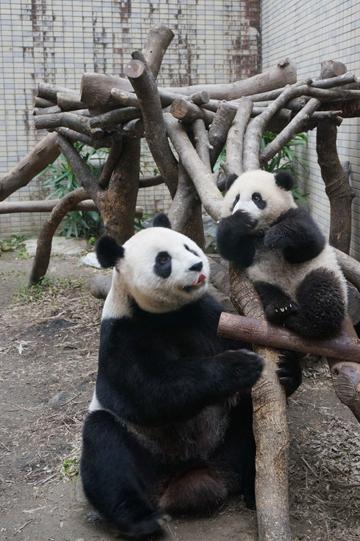 """大猫熊宝宝""""圆仔""""跟妈妈一起到户外走春.来源:台北市动物园"""