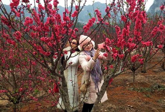 南宁花花大世界盛放的桃花盛吸引了众多游人拍摄留念  方宏  摄影