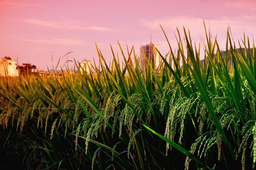 八月是收获的季节,丰收的稻谷,散发出阵阵香味