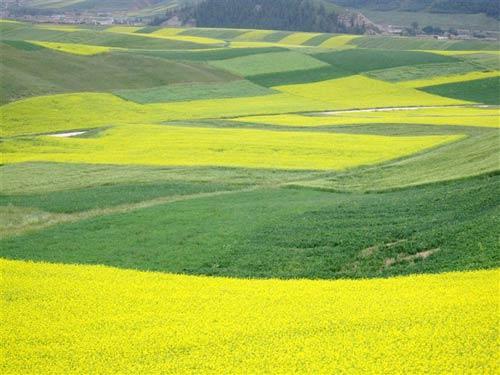 黄澄澄的油菜花和绿油油的青稞麦田相映生辉