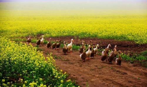 油菜花海中一群归家的萌鸭