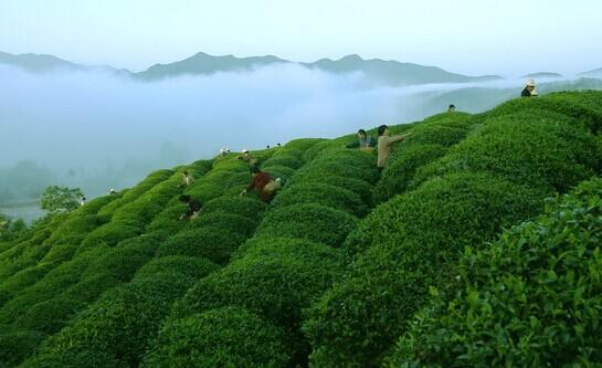 茶叶实验场风景