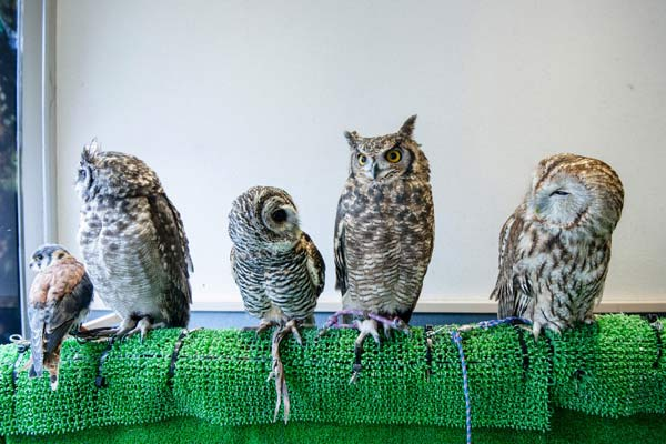 For those looking for their own owl experience on par with the world of Harry Potter, they need go no further than the Owl Cafe in downtown Tokyo.
