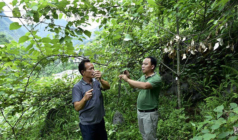 6月21日,弄腾村党支部书记黄树全指导蒙桂英为葡萄剪枝。