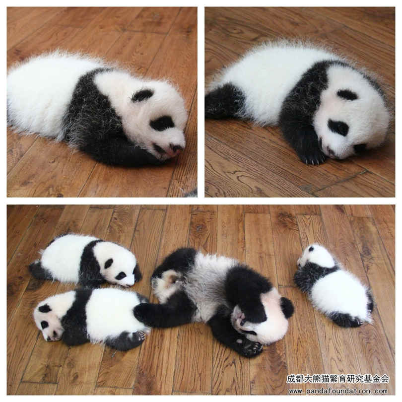 珍喜和小伙伴们在木地板上睡觉