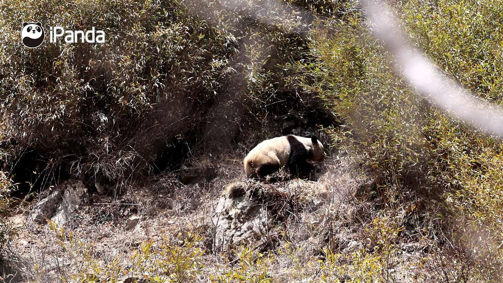 野生大熊猫在竹林里