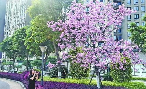 """五缘湾北社区盛开的樱花吸引市民游客拍照""""打卡""""。"""