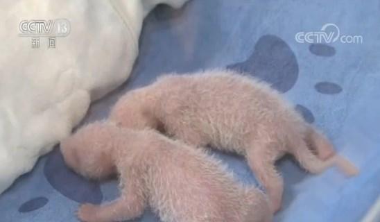 关注秦岭珍稀动物繁育季 秦岭大熊猫双胞胎度过危险期