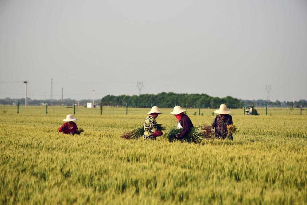 5月15日,农民在河南省焦作市温县祥云镇小麦博物馆附近的麦田里劳作。新华社记者 冯大鹏 摄