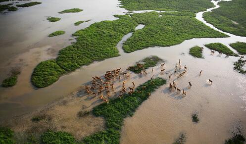 海滩上的麋鹿-江苏大丰麋鹿国家级自然掩护区(摄影 杨国美)