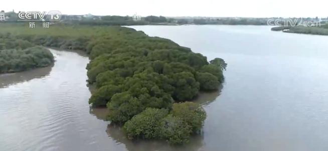 红树林保护修复专项行动计划:到2025年将营造和修复红树林1.