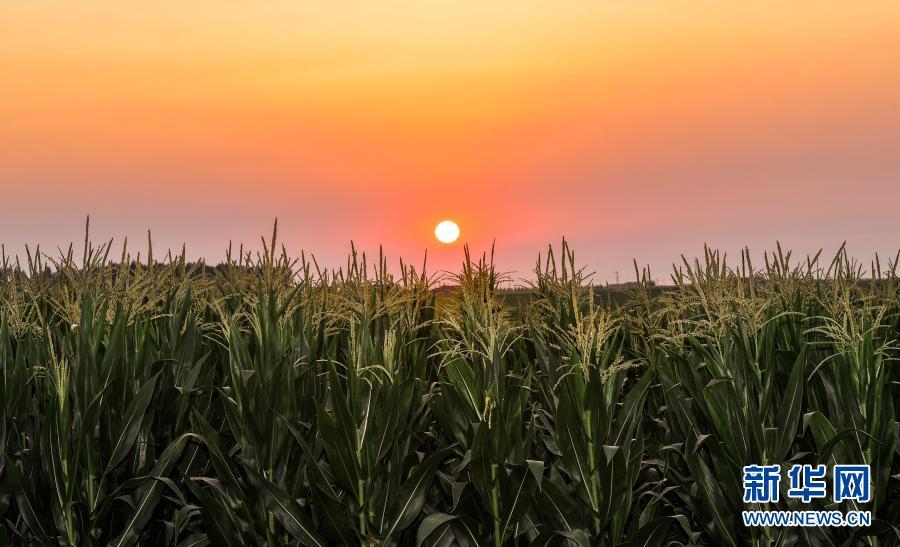这是2020年7月23日拍摄的吉林省梨树县国家百万亩绿色食品原料(玉米)标准化生产基地核心示范区。新华社记者 许畅 摄