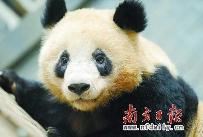 娅琳成为杭州动物园熊猫