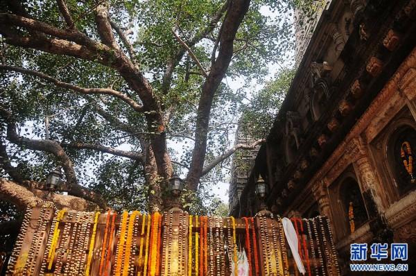 佛祖悟道的菩提树   摩诃菩提寺位于印度比哈尔邦南部伽耶市近郊七公里处的佛教圣地的菩提伽耶。是印度次大陆现存年代最久远的寺庙之一,具有很高的历史研究价值。摩诃菩提寺于2002年被联合国教科文组织列为世界文化遗产。该寺内有公元前500多年佛祖释迦摩尼悟道成佛时所在的菩提树,还有大觉塔(又称大觉寺、大菩提寺、摩诃菩提僧伽耶),以及金刚座和阿育王时代的石栏等。   位于菩提树北面的的大觉塔高达50米,雄伟壮观,始建年代不详。但唐朝和尚玄奘西游印度时,对此塔及塔附近的其他遗迹都有详细记载。十三世纪时,因害怕回教