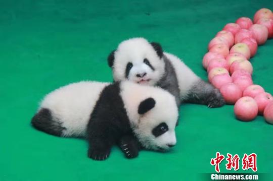 """饲养员和新生的大熊猫宝宝在一起。成都大熊猫繁育研究基地供图   中新网成都9月24日电 (记者 安源)记者24日从成都大熊猫繁育研究基地获悉,成都大熊猫繁育研究基地于今日为2019年出生的7只新生大熊猫举行集体亮相活动。   在活动现场,网红""""奶爸""""""""奶妈""""们抱着可爱的熊猫宝宝进入了运动场,活泼好动的大熊猫宝宝们聚在一起,无拘无束地撒着欢,""""奶爸""""""""奶妈""""们则不停地招呼着自己的""""孩子&rdqu"""